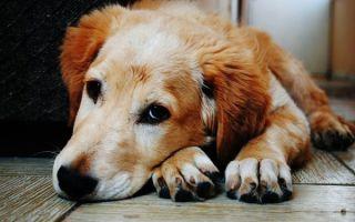 Атопический дерматит у собак: лечение