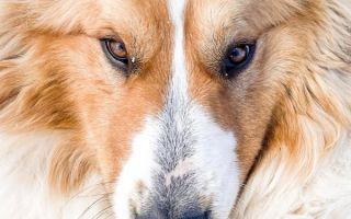 Гноятся глаза у собаки чем лечить