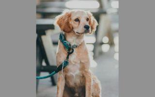 Баланопостит у собак лечение