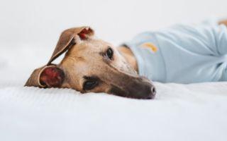 Аллергия у собак: симптомы и лечение