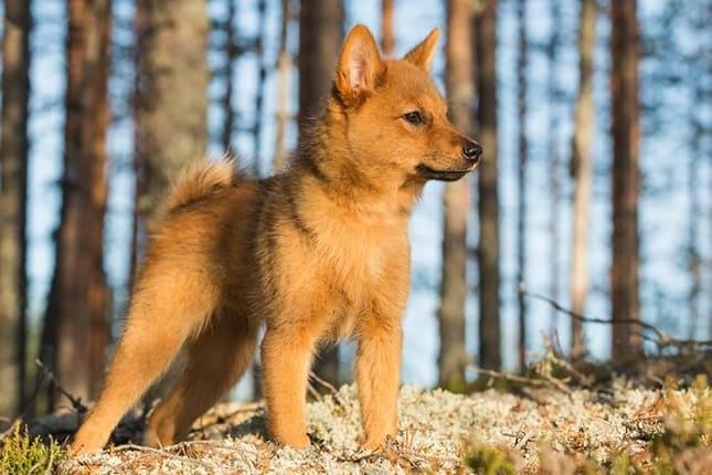 финский шпиц щенок