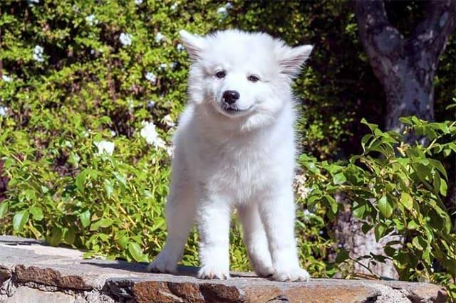 эски белоснежный щенок