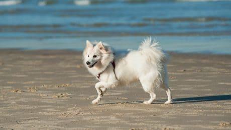 japanese-spitz-dog