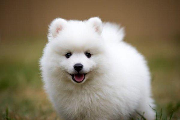 щенок японского щпица