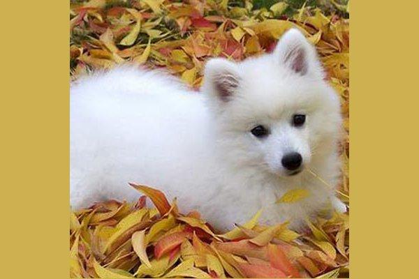 японский щпиц щенок