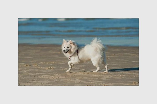 японский щпиц собака