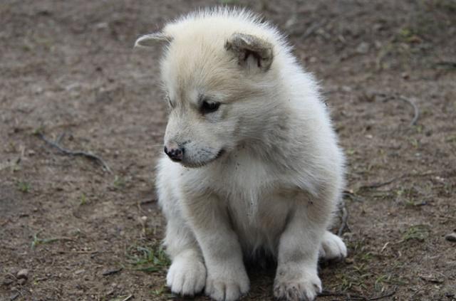щенок гренландской собаки