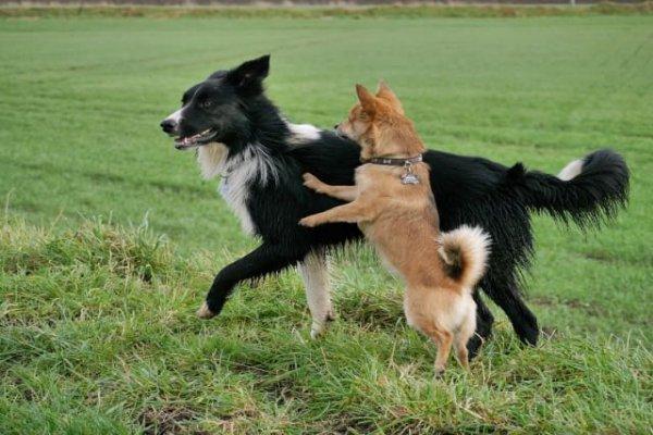 Карельская собака с другой
