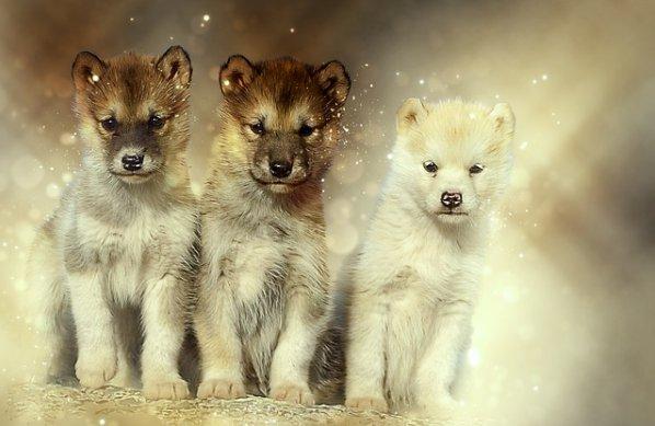 гренланский щенок