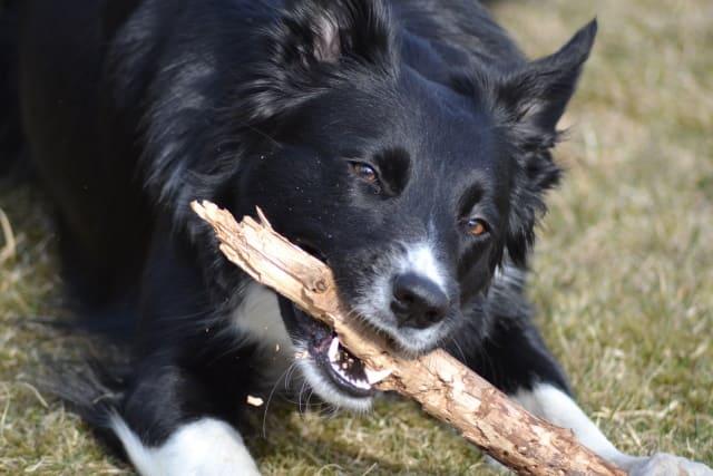 карельская медвежья собака на прогулке