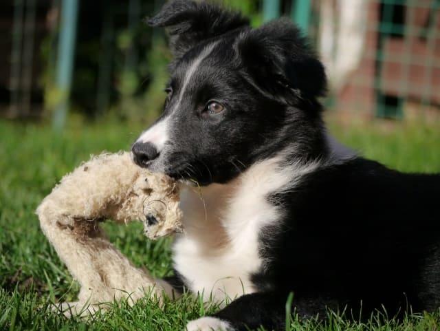 карельский щенок и игрушка