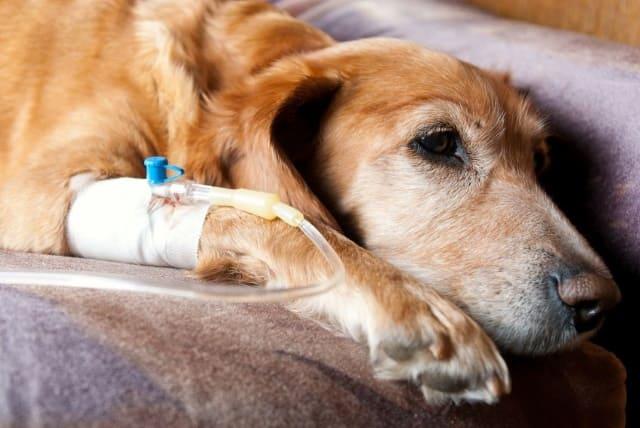 лечение лептоспироза у собак