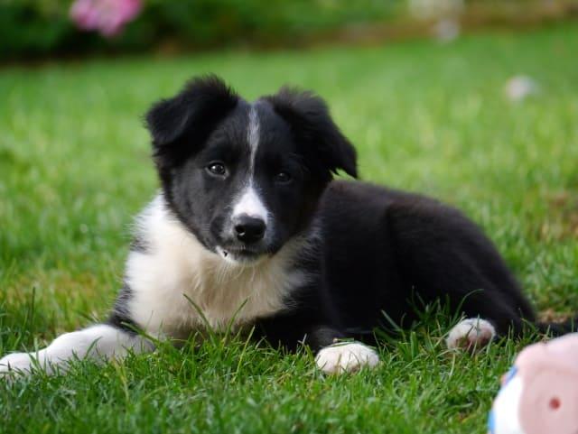 puppy-карельская медвежья собака