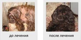 Атопия у собаки до и после лечения