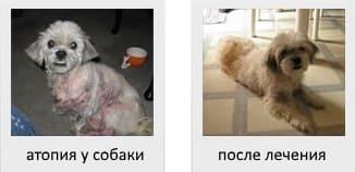 Атопия у собаки до и после лечения_2