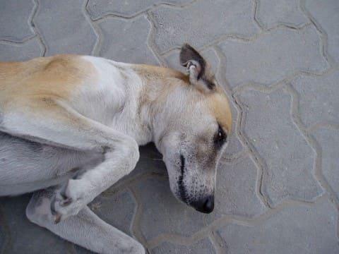 больная атопией собака