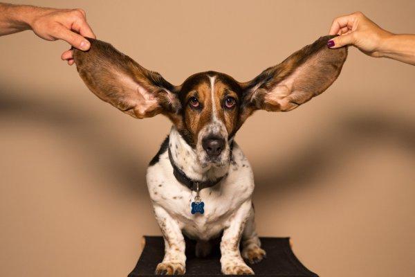 уши собаки
