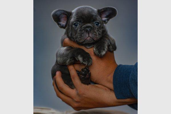 щенок француза